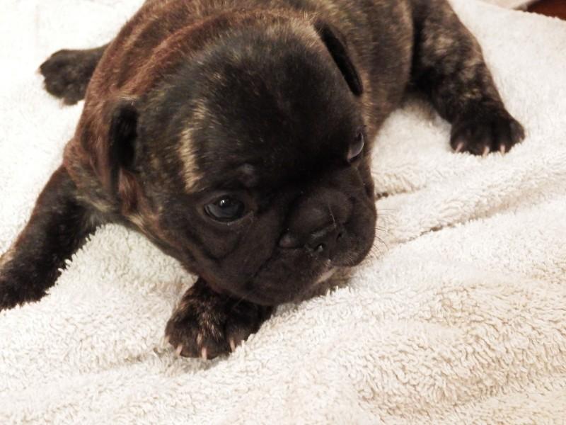 puppy_black_brindle
