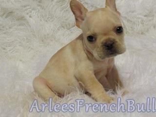 Cream-french-bulldog-puppy1
