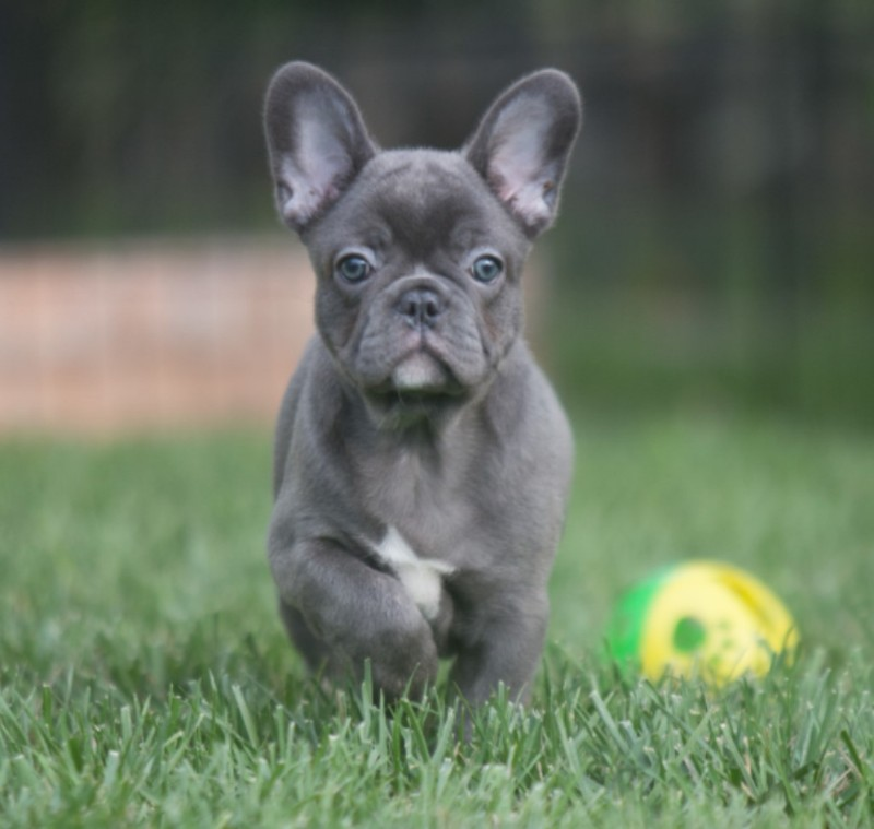 Doris A Vin Elegant Frenchies | Ask Frankie Breeder Directory