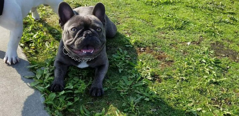 French Bulldogs Of The Bay Ask Frankie Breeder Directory