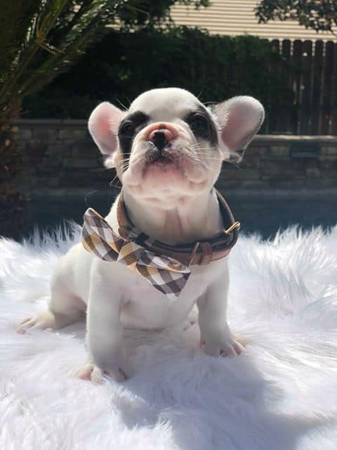puppy25_highclassfrenchies
