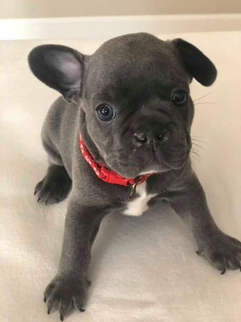 puppy46_highclassfrenchies