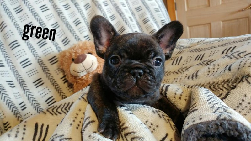 French-Bulldog-Breeders-Carney-Hollow-3