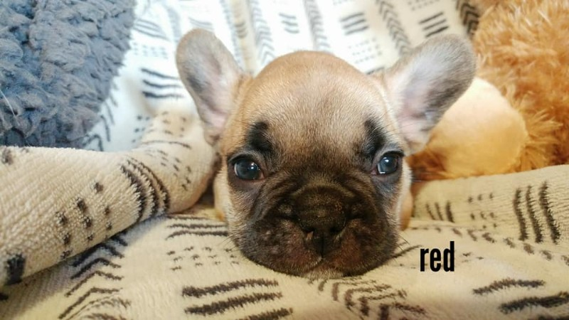 French-Bulldog-Breeders-Carney-Hollow-4