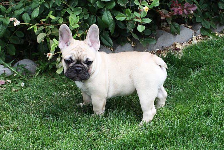 French-Bulldog-on-White-10-1-e1517511687435