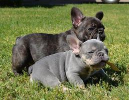 puppies__element709